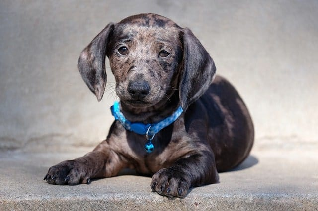 Dachshunds are german dogs that have exceptionally long ears for their size.