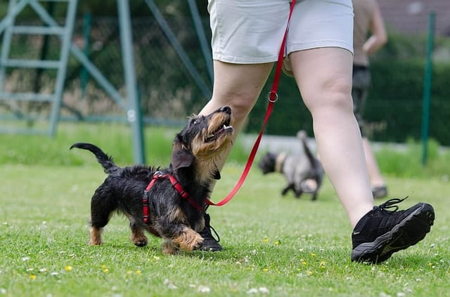 There are a number of reasons why Dachshunds performed so poorly in Coren's intelligence trials.