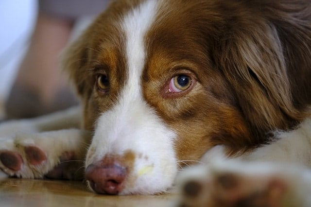 Do you run with your Australian Shepherd? We ask real Aussie owners.