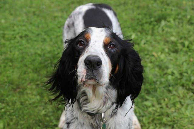 English setters are lively and part of the setter family.