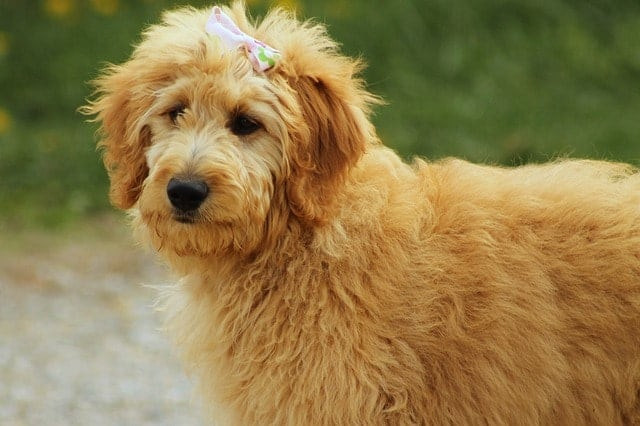 Getting a Goldendoodle because they're smart is not the right approach when picking a dog breed.