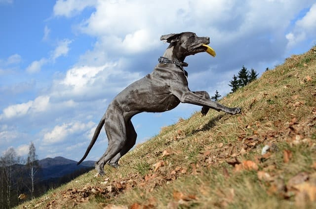 Great Danes have the energy and stamina to handle rowdy energetic kids.
