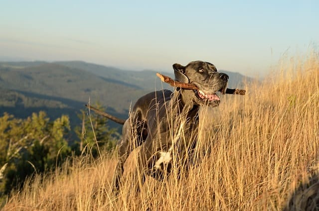 Great Danes are great for the household with infants because they rarely bark.