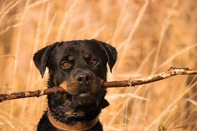 We measure how smart a Rottweiler is based on Stanley Coren's two criteria.