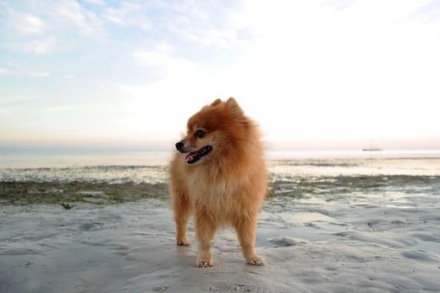 We asked real owners if they thought their Pomeranians were smart and why?