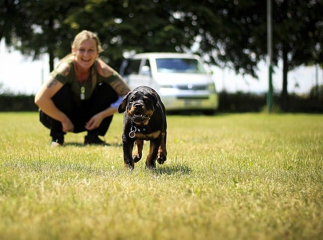 "We surveyed real Rottweiler owners and asked them, ""is your Rottweiler intelligent?"""