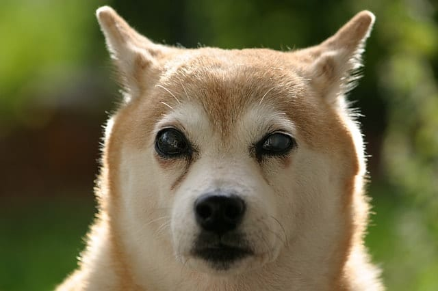 We asked Shiba Inu Inus whether they believed their dog was intelligent.