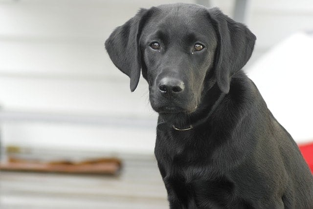 Labradors are the most popular dogs in the world because they're friendly and smart dogs.