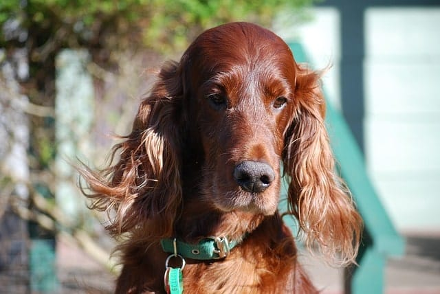 Irish Setters are long eared red dogs.