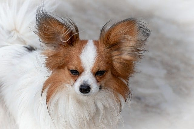 The extra hair on the tips of the Papillon's ears make it looks even longer than it actually is.