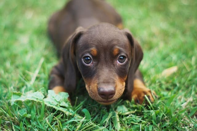Dachshunds are more intelligent than Coren's rankings, but how do we measure how smart a Dachshund is?