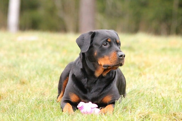 Rottweilers are intelligent in other ways. They're more than just obedient dogs.