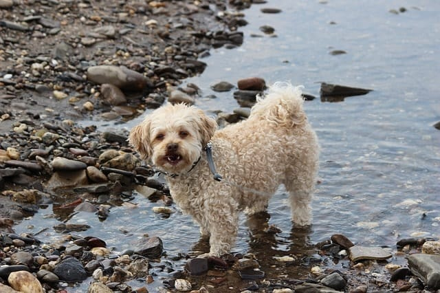 Poodles are some of the best swimmers because they were bred to retrieve in the water.