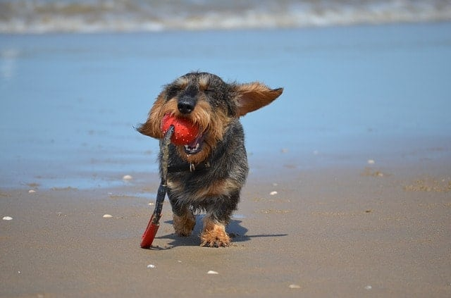 Here are 5 tips for a step by step approach to getting your Dachshund to swim.