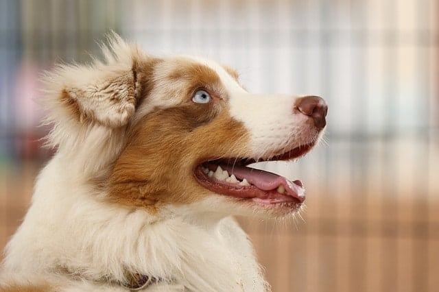 Running with your Australian Shepherd is a great thing, but we have some useful tips from real owners.