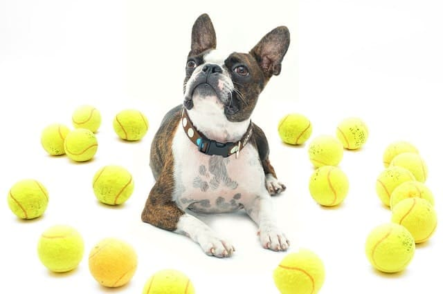 It requires patience and consistency to teach a Boston Terrier to be quiet.