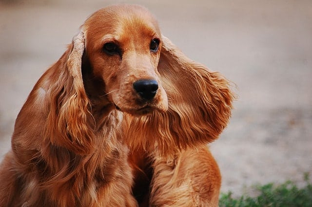 Cocker Spaniels are smart because they have high obedience, adaptive and instinctive intelligence.