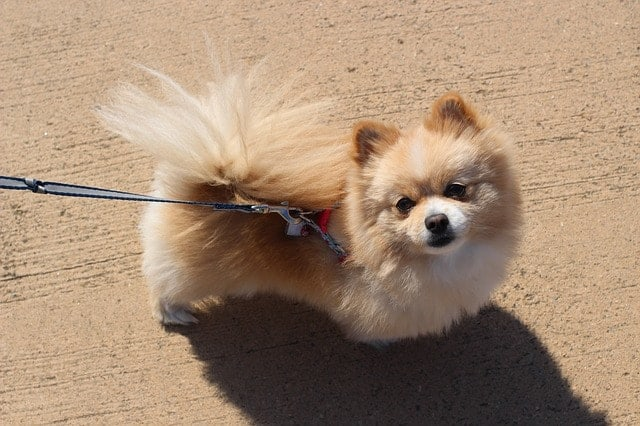 Pomeranians are smart because they have high instinctive and adaptive intelligence.