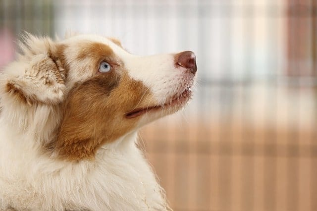 Do Australian Shepherds Have Tails? (The Truth on Bobtailed