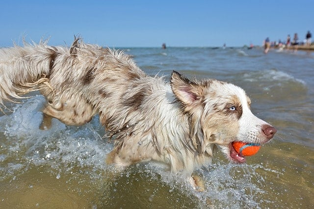 There are a number of reasons why Australian Shepherds are ranked so low on the dog intelligence list.