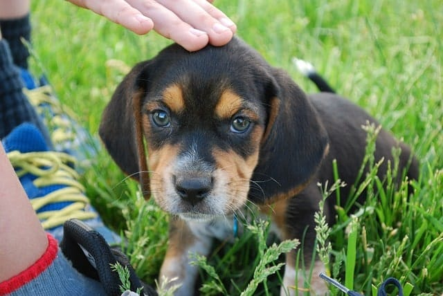 Beagles are great with children because of their cheerful, affectionate and friendly temperaments.