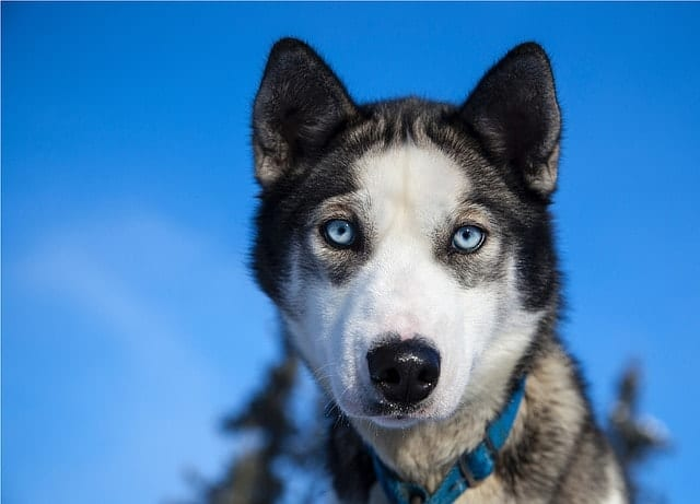 Amazing Siberian Husky: Amazing and Smart Siberian Husky Dog |Smart Husky Puppy