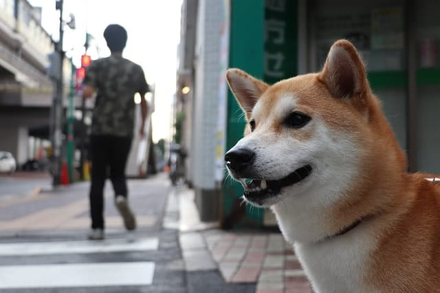Shiba Inus rank low on dog IQ tests because they're too stubborn to obey commands.