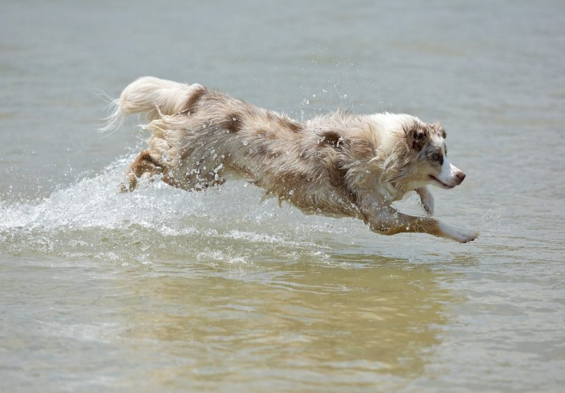 Physically active dog owners may wonder if Australian Shepherds would run with them.