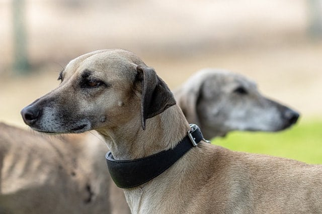 Are Greyhounds actually smart dogs? Here's why they are.