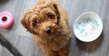 Labradoodles are one of the most intelligent mixed dog breeds.