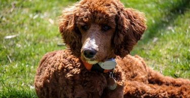 Poodles are hypoallergenic dogs, but here are 10 other similar hypoallergenic dog breeds.