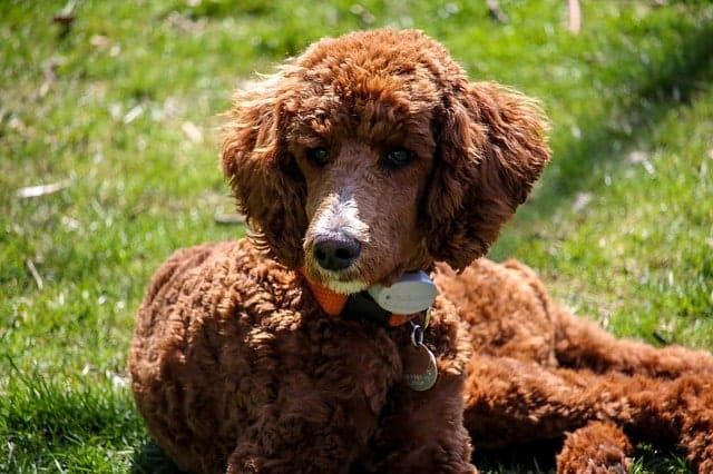Poodles Are Hypoallergenic Heres 10 Similar