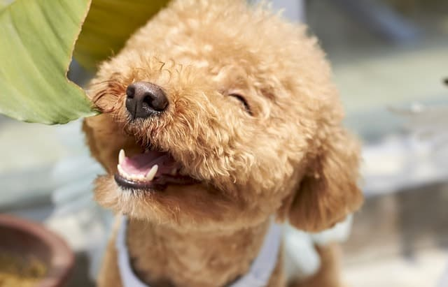 Poodles are the second smartest dog breed in the world.
