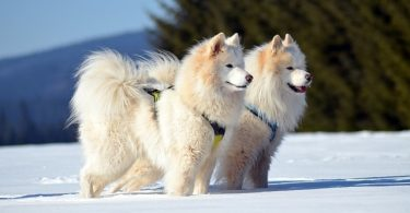 Samoyeds are smart dogs, as they're the 44th smartest dog breed.