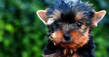 Yorkies are smarter than most dog breeds. In fact, they're above average intelligent dogs.