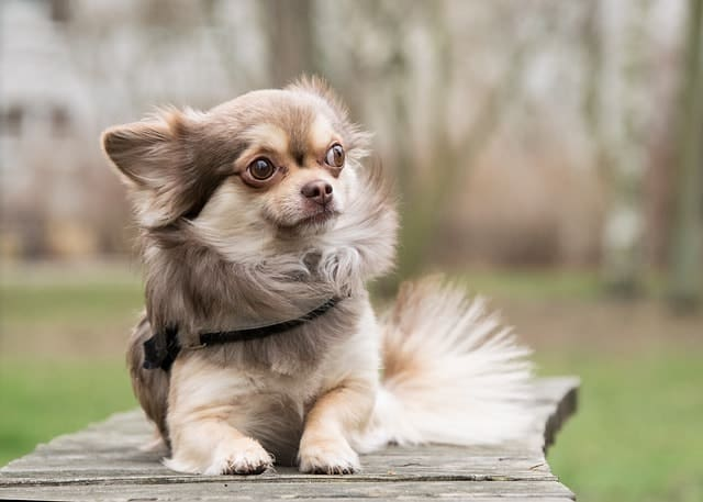 Chihuahuas were bred from the Techichi dog from ancient Mexican civilizations.