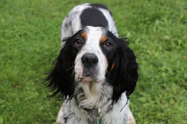 The English Setter is a pointer dog breed that's especially skilled in retrieving birds.