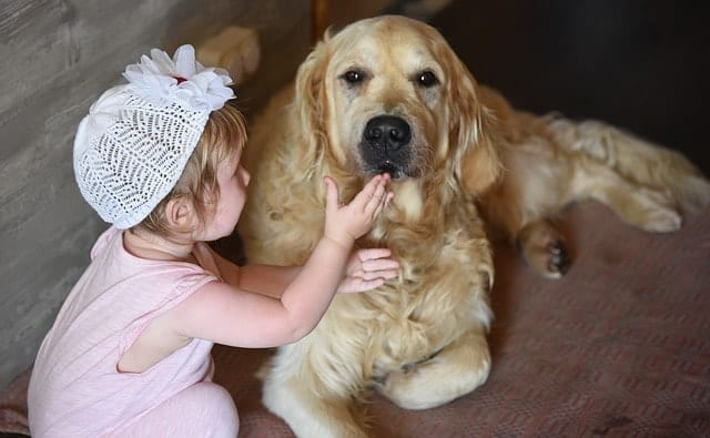Golden Retrievers are great around babies if they're properly trained beforehand.