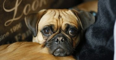 The average price of a Pug can vary depending on many factors. But expect to pay between $500 and $1200 USD.