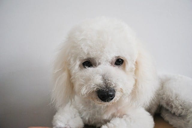 Bichon Frise is hypoallergenic, cute and friendly.