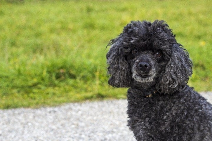 Because the Irish Water Spaniel was bred to retrieve in water, they have similar coats to the Poodle.