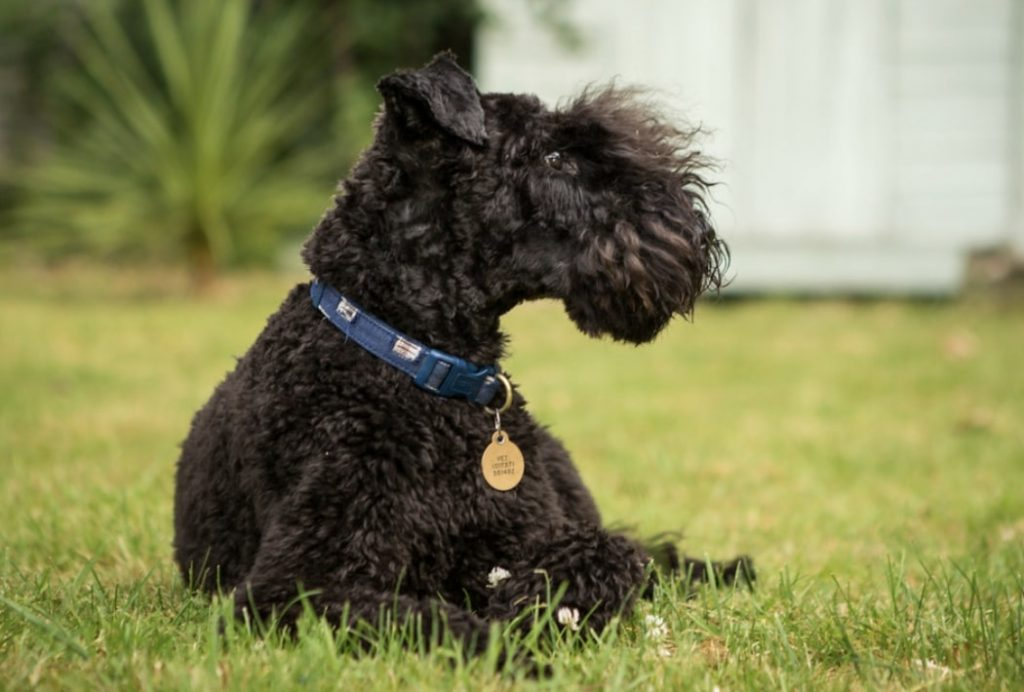 The Kerry Blue Terrier is the terrier that most resembles a Poodle.