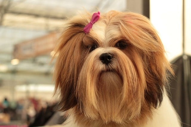 The Lhasa Apso is both exotic and hypoallergenic.