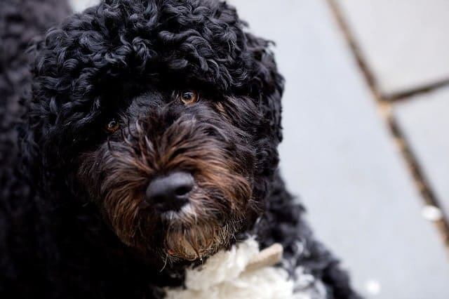 The Portuguese water dog was bred for the same job as the Poodle.
