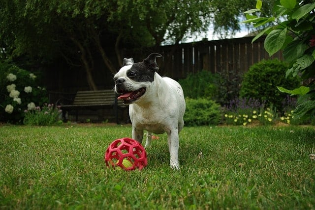 Is your Boston Terrier smart? We asked real owners.