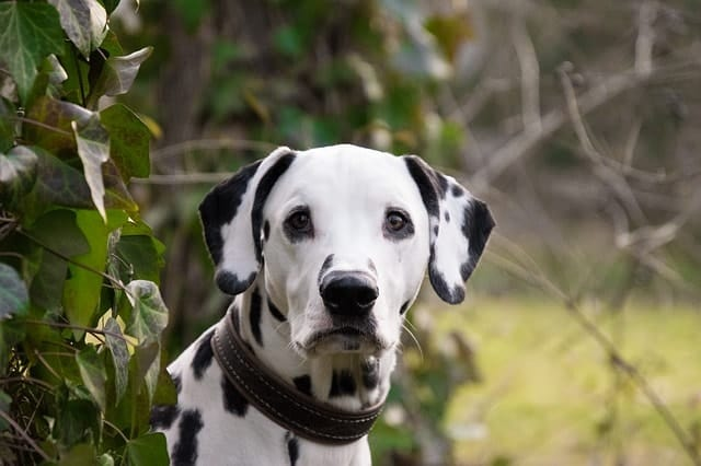 We asked real Dalmatian owners to see if they think their dogs are smart.