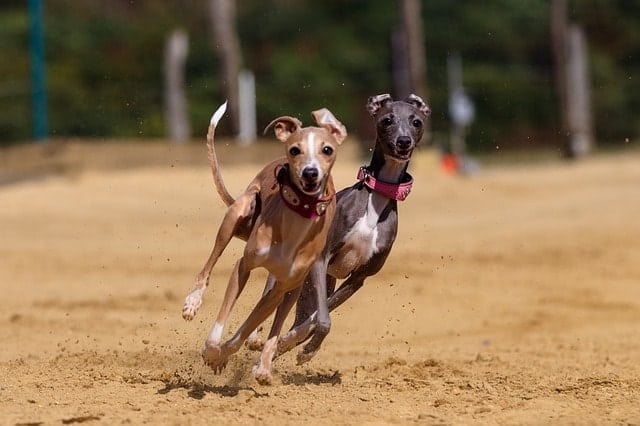 According to most Greyhound owners, these dogs are very smart.
