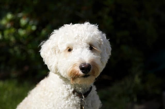 We asked real Labradoodle owners if they thought their mutt was highly intelligent.