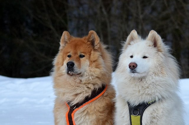 Is your Samoyed smart? Here's what Samoyed owners say.