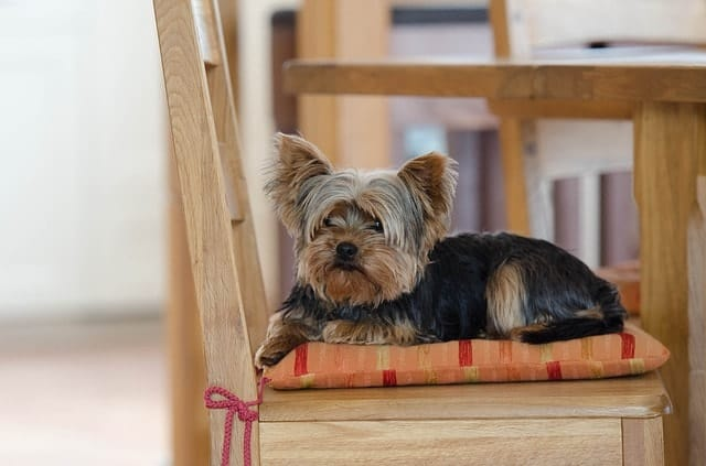 Is your Yorkie smart? We asked real Yorkie owners on popular forums.
